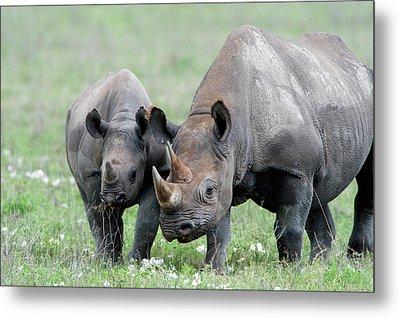 Black Rhinoceros Diceros Bicornis Metal Print