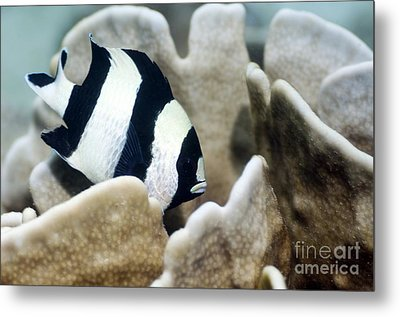 Black-tail Dascyllus Metal Print by Georgette Douwma