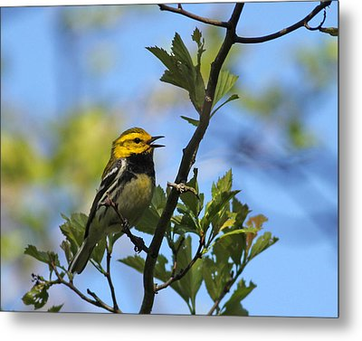 Black-throated Green Warbler Metal Print by Brian Magnier
