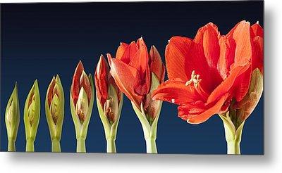 Blossoming Amaryllis Flower Metal Print