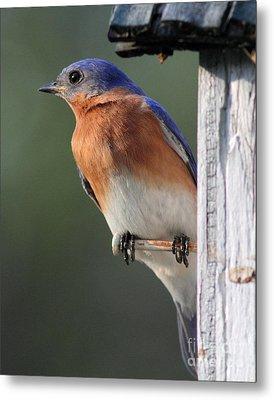 Bluebird Metal Print by Douglas Stucky