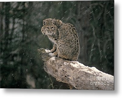 Bobcat Lynx Rufus In Winter Snow Metal Print