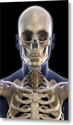 Bones Of The Head And Upper Thorax Metal Print by Science Picture Co