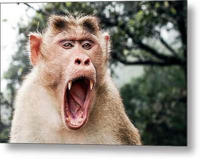 Bonnet Macaque Yawning Metal Print by Paul Williams
