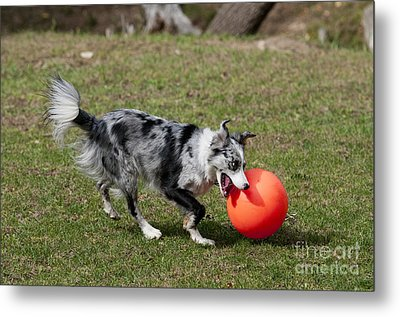 Border Collie Chasing Ball Metal Print by William H. Mullins