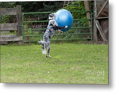 Border Collie Playing Catch Metal Print by William H. Mullins