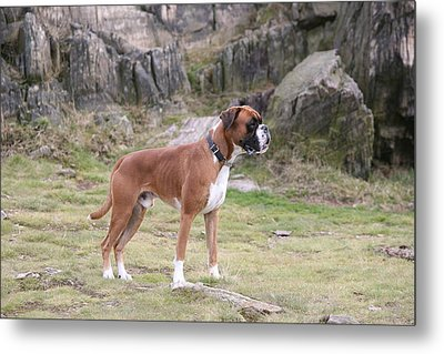 Boxer Dog Metal Print by Mark Severn