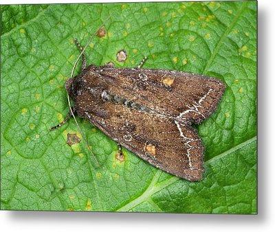 Bright-line Brown-eye Moth Metal Print by Nigel Downer