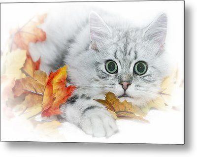 British Longhair Cat Metal Print by Melanie Viola