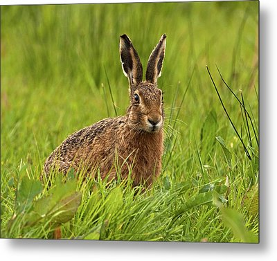 Brown Hare Metal Print by Paul Scoullar