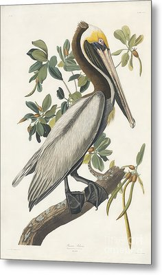 Brown Pelican Metal Print by Celestial Images