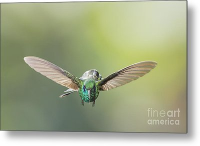 Metal Print featuring the photograph Brown Violet-ear Hummingbird by Dan Suzio