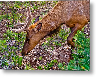 Browsing Elk In The Grand Canyon Metal Print by Bob and Nadine Johnston