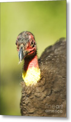 Brush Scrub Turkey Metal Print by Jorgo Photography - Wall Art Gallery