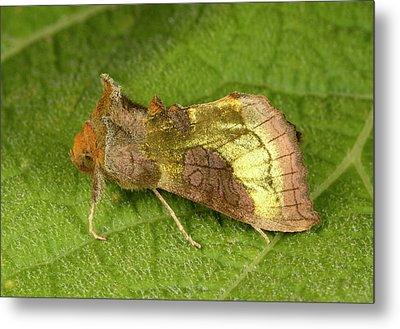 Burnished Brass Moth Metal Print by Nigel Downer