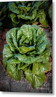Butterhead Lettuce Metal Print by Robert Bales
