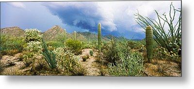 Cacti Growing At Saguaro National Park Metal Print by Panoramic Images