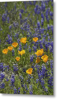California Poppies And Lupine Metal Print by Sherri Meyer