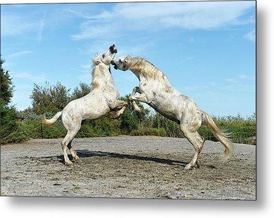 Camargue Horses Metal Print by Dr P. Marazzi