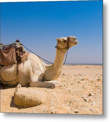 Camel In Desert Metal Print