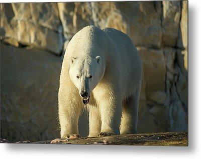 Canada, Nunavut Territory, Polar Bear Metal Print