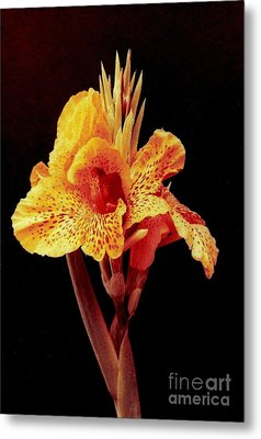 Canna Lilly Metal Print by Michael Hoard