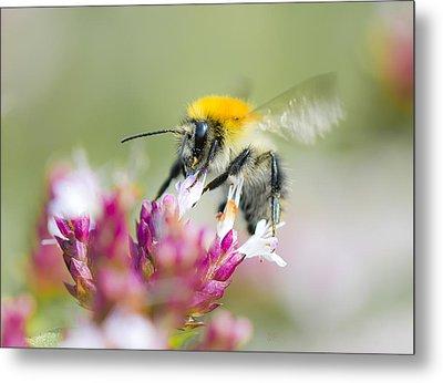 Carder Bee Metal Print