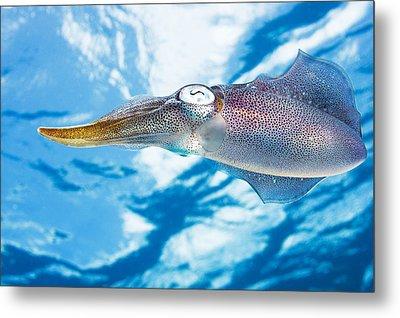 Caribbean, Reef Squid Sepioteuthis Metal Print by Dave Fleetham