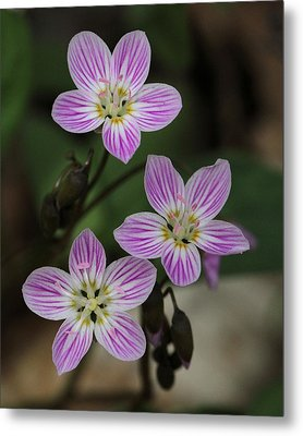 Carolina Spring Beauty Metal Print