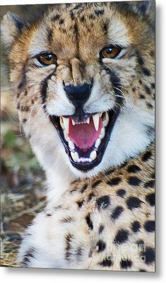Cheetah With Attitude Metal Print