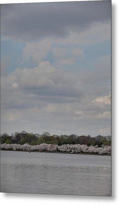 Cherry Blossoms - Washington Dc - 011334 Metal Print by DC Photographer