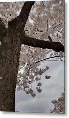 Cherry Blossoms - Washington Dc - 011340 Metal Print by DC Photographer