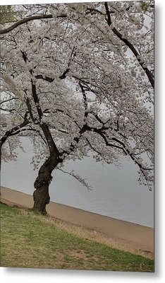 Cherry Blossoms - Washington Dc - 011343 Metal Print by DC Photographer