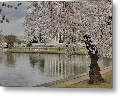 Cherry Blossoms With Jefferson Memorial - Washington Dc - 01135 Metal Print by DC Photographer