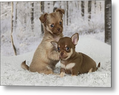 Chihuahua Puppy Dogs Metal Print by John Daniels