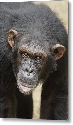 Chimpanzee Portrait Ol Pejeta Metal Print