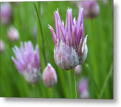 Metal Print featuring the photograph Chives by Gene Cyr