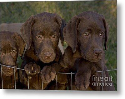 Chocolate Labrador Retriever Pups Metal Print by Linda Freshwaters Arndt