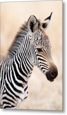 Close-up Of A Burchells Zebra Equus Metal Print