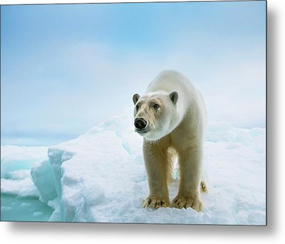 Close Up Of A Standing Polar Bear Metal Print by Peter J. Raymond