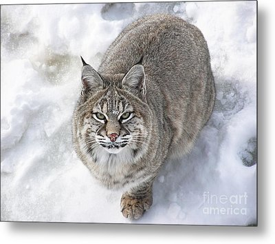 Close-up Of Bobcat Lynx Looking At Camera Metal Print by Sylvie Bouchard
