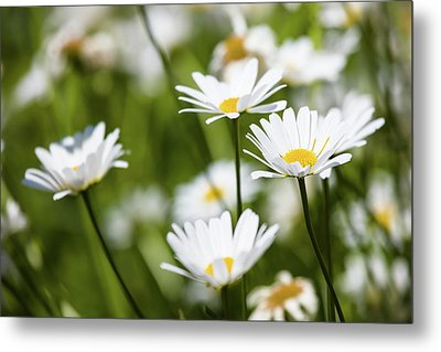 Close-up Of White Daisy Flowers Metal Print