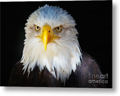 Metal Print featuring the photograph Closeup Portrait Of An American Bald Eagle by Nick  Biemans