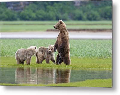 Coastal Brown Bear Sow With Her Two Metal Print