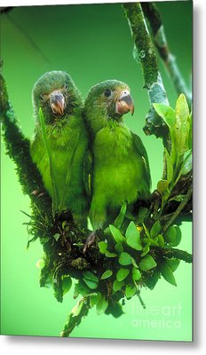 Cobalt-winged Parakeets Metal Print