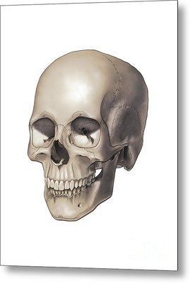 Color Illustration Of A Human Skull Metal Print by Nicholas Mayeux
