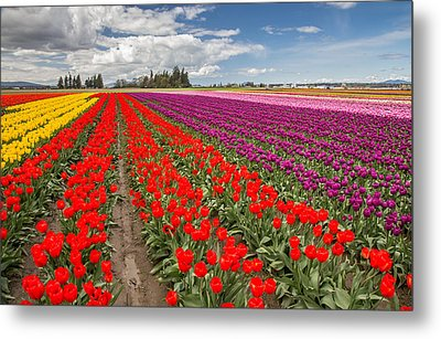 Colorful Field Of Tulips Metal Print by Pierre Leclerc Photography
