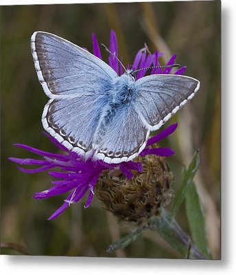 Common Blue Butterfly Metal Print by Shirley Mitchell