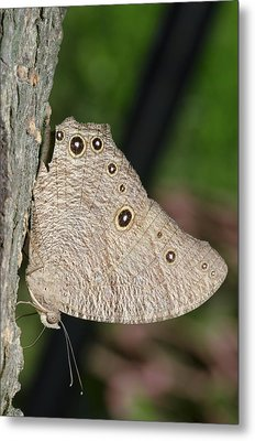 Common Evening Brown Butterfly Metal Print by Science Photo Library