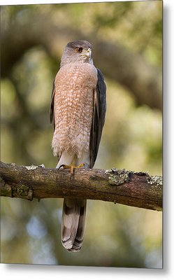 Cooper's Hawk Metal Print by Doug Herr